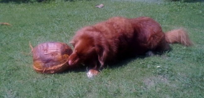 Capi found a new (coconut) ball.