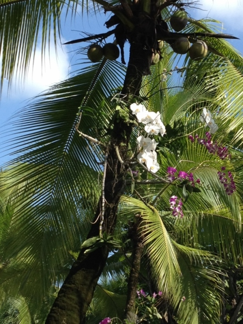 Orchids grow wild on palm trees at the Riande