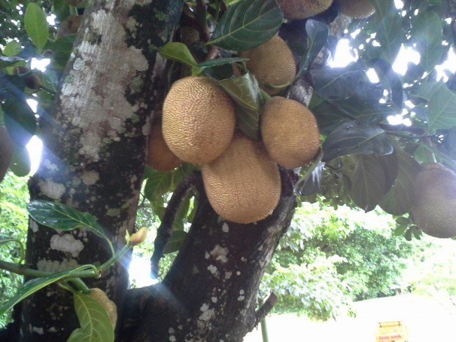 Breadfruit?