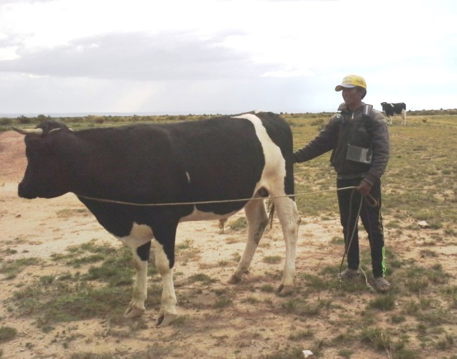 The property owner and his yearling bull